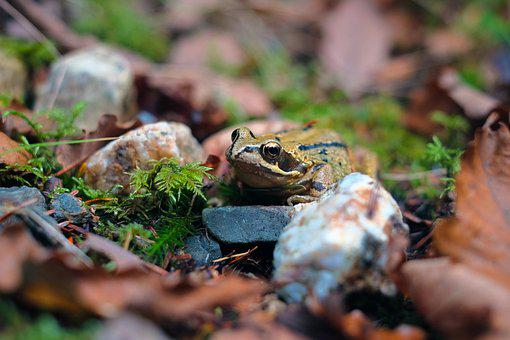 Frog, Nature, Forest, Prince, Small, Eye, Fauna, Animal