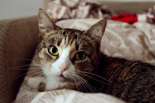 Cat, Snout, Fluffy Cat, Cats, Cat Dreams, Pet