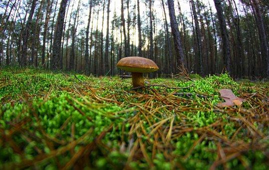 Mushroom, Chestnut Boletus, Forest