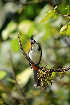 Red-whiskered Bulbul, Crested Bulbul
