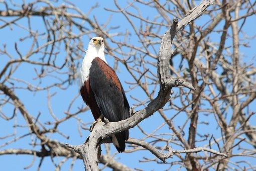 Fish Eagle, Bird, Eagle, Wildlife, African, Photography