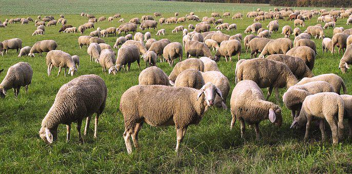 Sheep, Flock, Pfrech, Flock Of Sheep, Domestic Sheep