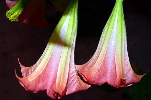 Bells, Flowers, Jimson Weed Tree, Brugmansia, Plant