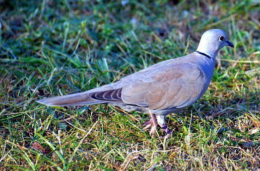 Indian Dove, Bird, Sitting, Laughing Dove