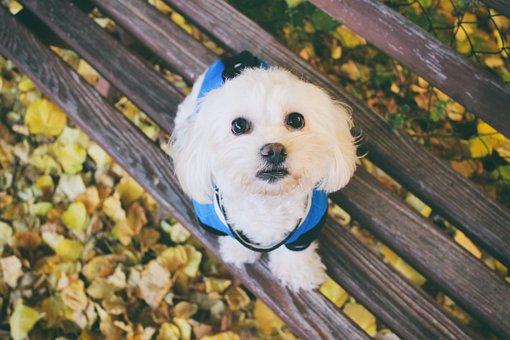 Maltese Dog, Dog, Animal, Foliage, Leaf, Cute, Autumn