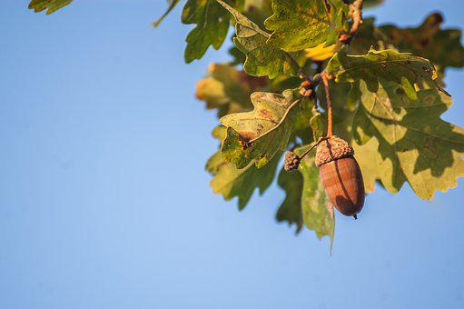 Nature, Acorn, Oak, Foliage, Plant, Leaf, Acorn Brown