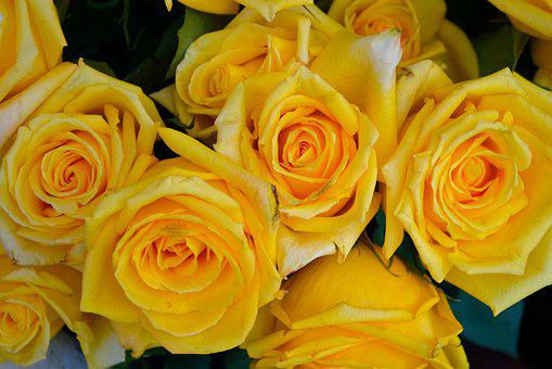 Yellow Roses, Flowers, Floral, Nature, Rose, Plant
