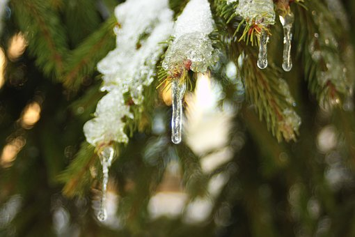 Ice, Snow, Tree, Pine, Close Up, Frost, Winter, Cold