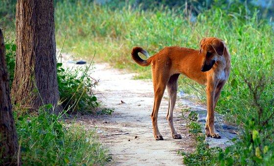 Dog, Canine, Street Dog, Pariah Breed