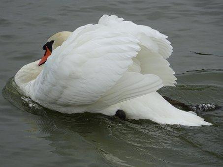 Mute Swan, Swan, Swan Swimming, Cob, Riverside