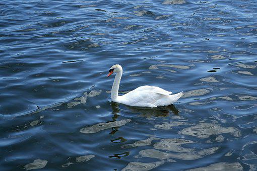 Swan, Lake, River, Peaceful, White Bird, White, Pond