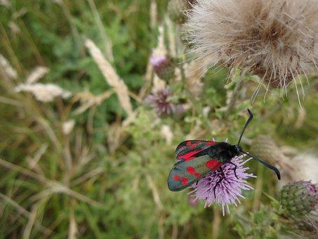 Moth, Six Spot Burnet Moth, Zygaena Filipendulae
