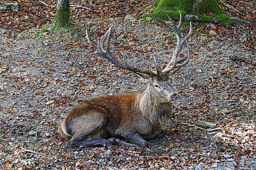 Red Deer, Antler, Hirsch, Wild Animal