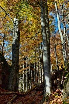 Autumn, Beech, Autumn Colors