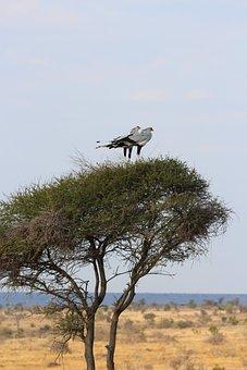 Secretary, Birds, Perched, Birdlife, Africa, Nature