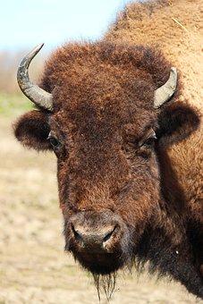 Bison, Animals, Nature, Wildlife Photography