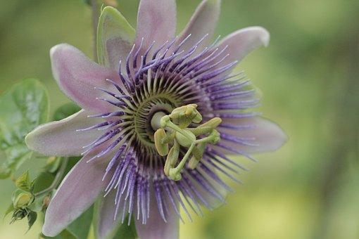 Passion Flower, Passiflora, Climber, Plant, Blossom