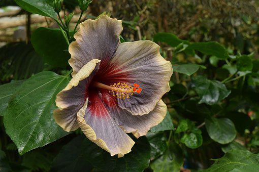 Hibiscus, Exotic, Flower, Greenhouse, Botanical, Flora