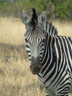 Stripes, Zebra, Animal, Africa, Botswana