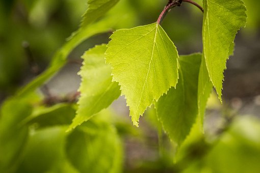 Birch, Leaf, Nature, Tree, Leaves, Forest, Branches