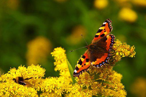 Butterfly, Yellow Flowers, Yellow, Insect, Close