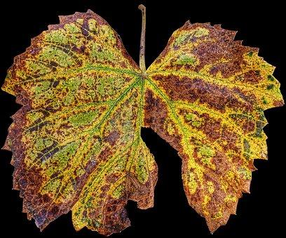 Leaf, Autumn, Vine, Fall Color, Leaf Coloring, Sunlight