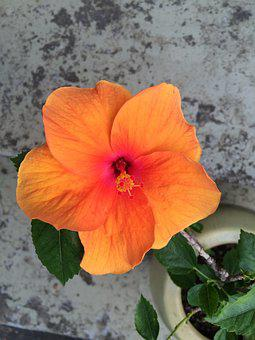 Hibiscus, Flower, Plant, Tropical, Nature, Floral