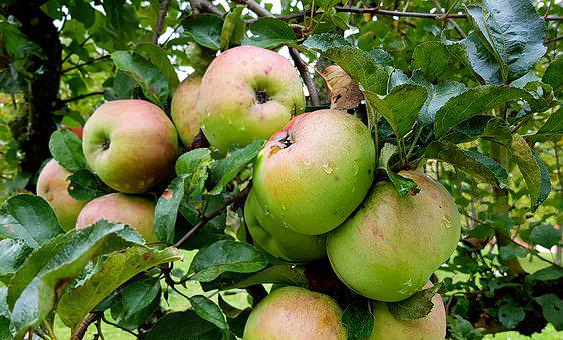 Apple, Apple Tree, Fruit, Pome Fruit, Healthy, Nature