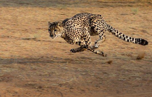 Cheetah, Africa, Namibia, Cat, Run, Hunt