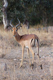 Impala, Buck, Africa, Antelope, Wildlife, Animal