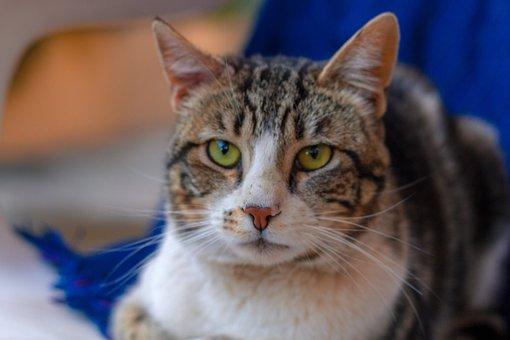 Cat, Look, Masco, Pet, Whiskers, Feline Look, Eyes