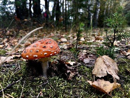 Nature, Fungus, Mushroom, Boletus, Toadstool, Fall
