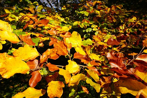 Beech Leaves, Fall Color, Colorful, Nature, Sunny