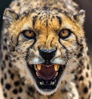 Cheetah, Africa, Namibia, Cat, Eyes, Teeth