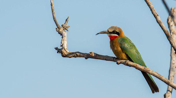 White Fronted Bee Eater, Africa, South Africa, Safari