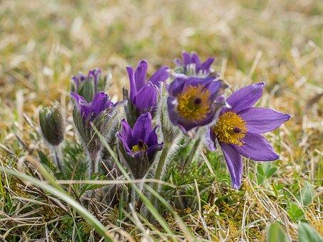 Pulsatilla, Flowers, Wild Flowers Spring
