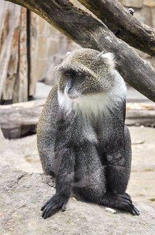 Monkey, Ape, Zoo, Animal, Wildlife Photography