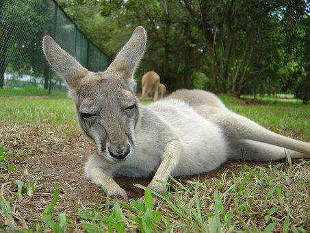 Kangaroo, Animal, Australia