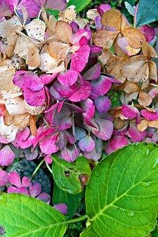 Plant, Hydrangea, Blossom, Bloom, Autumn
