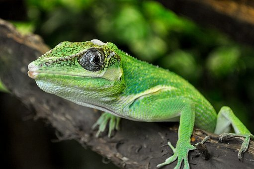 Lizard, Iguana, Reptile, Animal, Close, Terrarium, Zoo