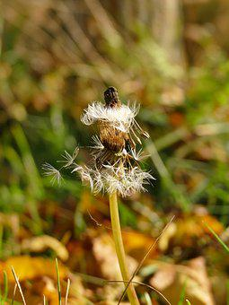 Autumn, Nature, Dandelion, Leaves, Golden Autumn