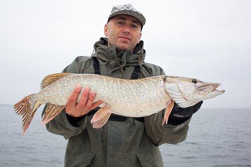 Pike Perch, Fish, Perch, Freshwater Fish, Angler