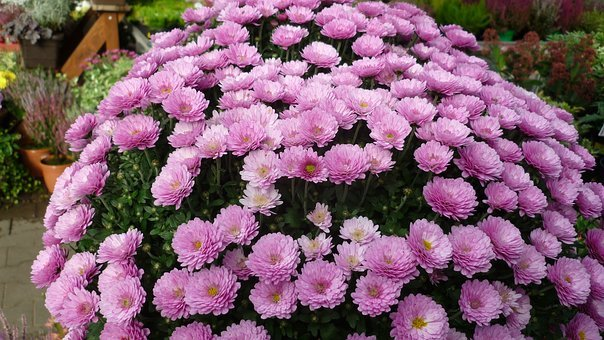 Asters-tree, Flower, Flower Dome, Pink, Great