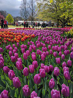 Tulips, Netherlands, Keukenhof, Flower, Nature