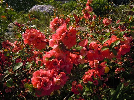 Bill Quince, Chaenomeles, Bush, Flowers