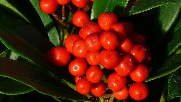 Berries, Ornamental Shrub, Fruits, Bright, Red