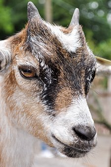 Goat, Bock, Horns, Billy Goat, Animal, Livestock