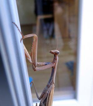 Praying Mantis, Insect, Scare, Close Up, Flight Insect