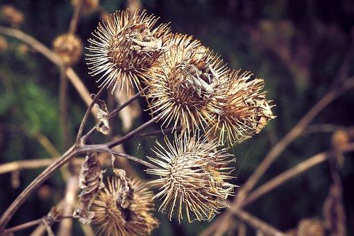 Thistles, Autumn, Plant, Nature, Golden Autumn, Weed