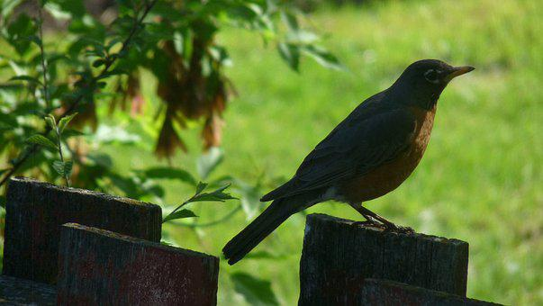 Robin On A Fence, Bird, Old Fence, Nature